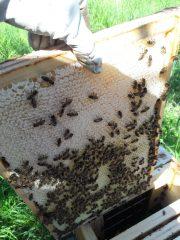 Absperrgitter mit seitlichem Honigraum funktioniert!