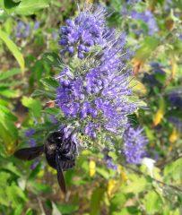 Tipp: Blühender Strauch für den Spätherbst - die Bartblume